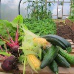 Crops grown in a Polytunnel