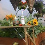 pimms in a polytunnel
