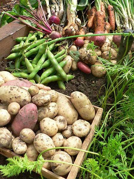 polytunnel harvest