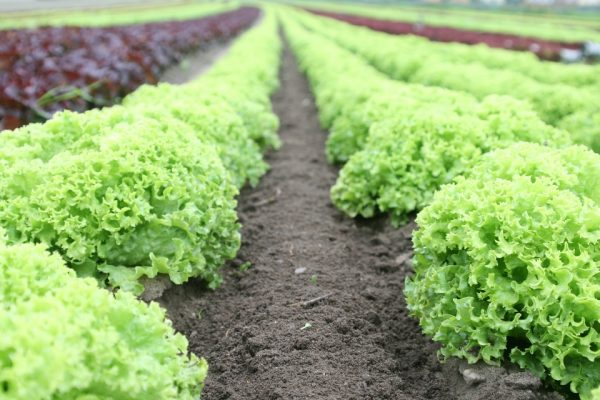 field with rows of lettuce