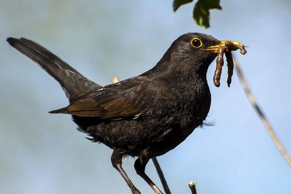 blackbird with worm in its beak