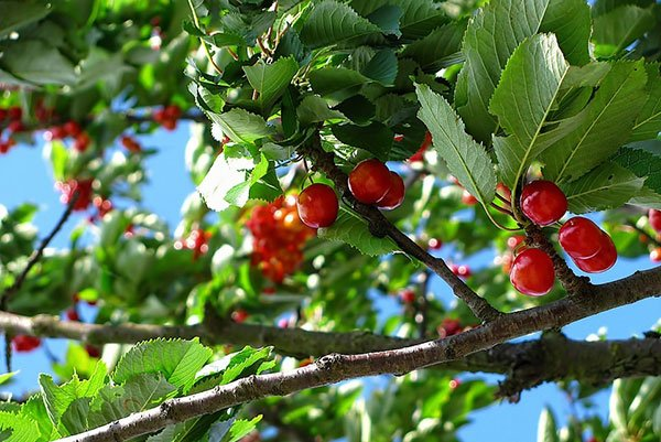 branch of a cherry tree