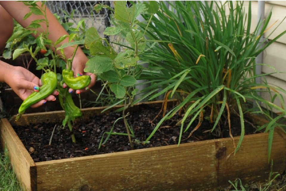 checking chilli plants in a raised garden bed