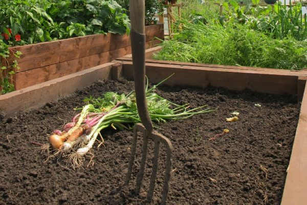freshly harvested root vegetables in a polytunnel