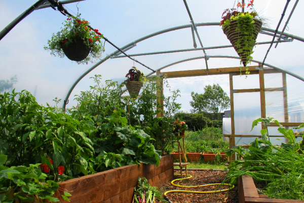 vegetables and flowers growing in a polytunnel