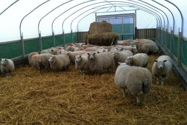 sheep inside a polytunnel