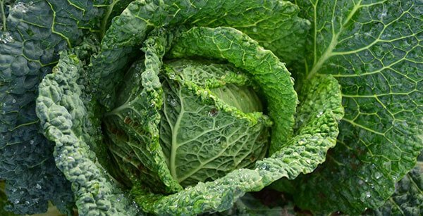 close up of a green cabbage