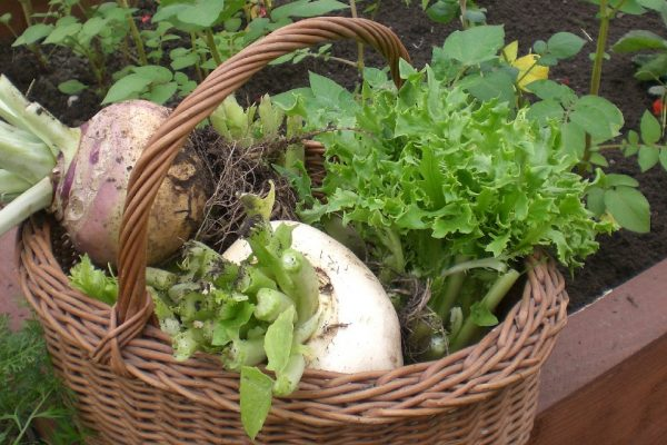 turnips harvested from a polytunnel in a wicker basket