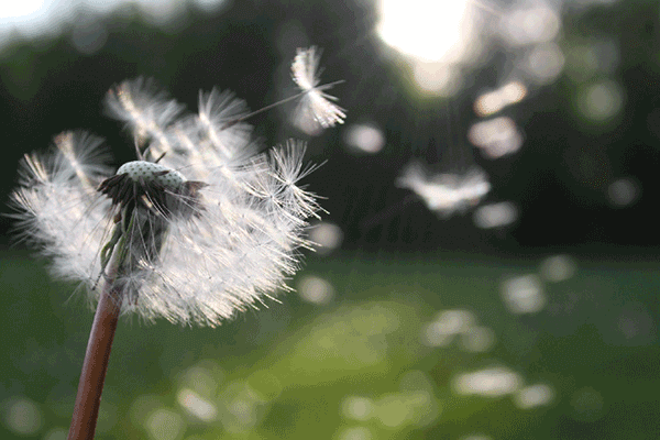dandelion clock with seeds blowing away in the wind
