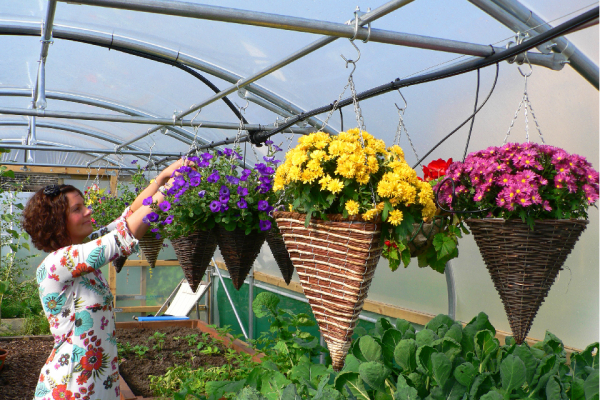flowers in hanging baskets banging from crop bars in a polytunnel