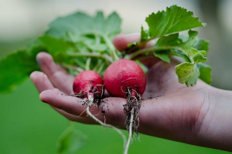 two radishes in a hand
