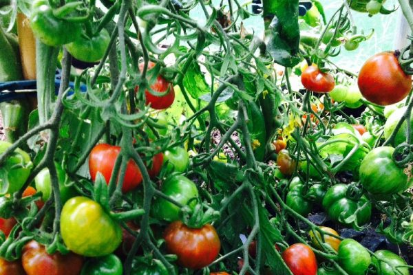 a mixture of ripe and unripe tomatoes