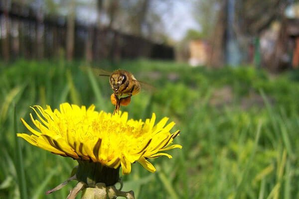bee hovering above a dandelion