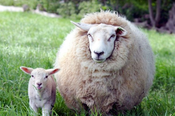 sheep standing next to a lamb