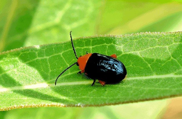 single flea beetle