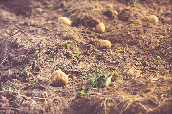 potatoes ready for harvesting
