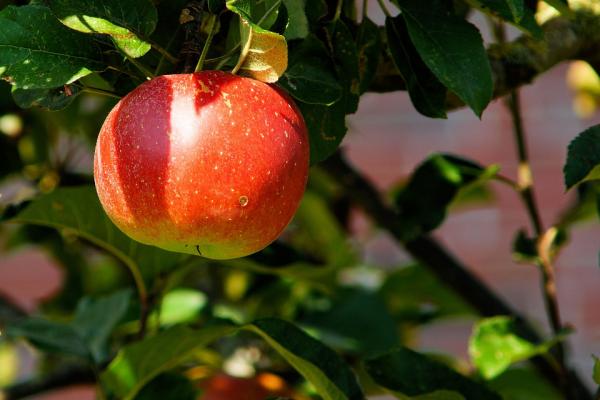 ripe apple on tree