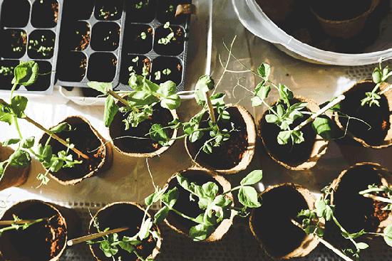 young seedlings in cardboard pots