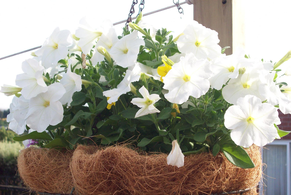 hanging basket with white flowers