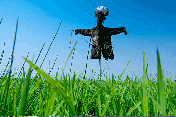 scarecrow in a field