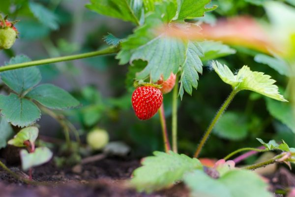 single unharvested ripe strawberry