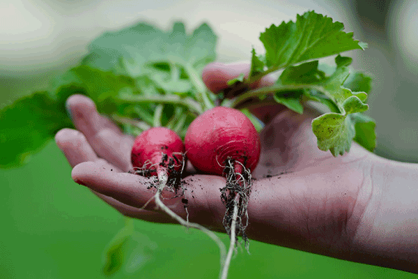 two radishes in the palm of a hand