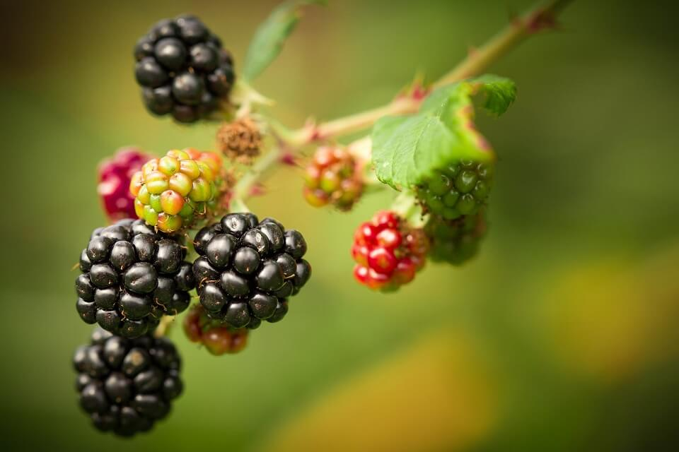blackberries growing