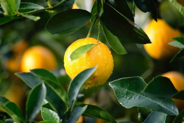 ripe lemon on a lemon tree