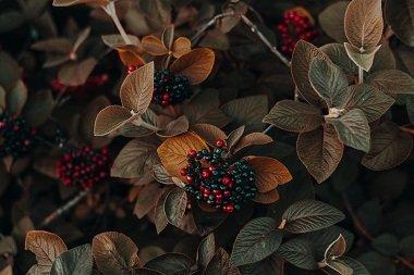 fruit berry bush
