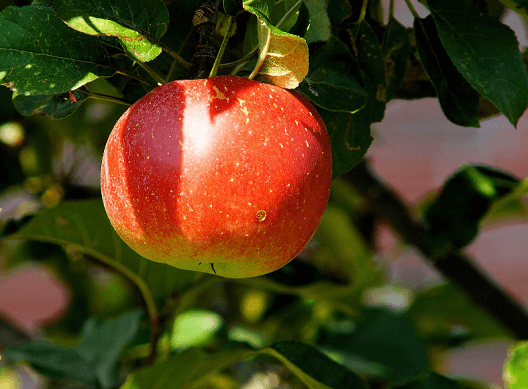 apple on an apple tree