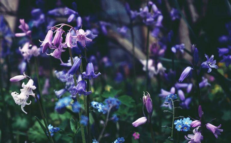 poisonous bluebells