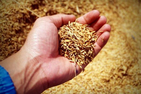harvested grains