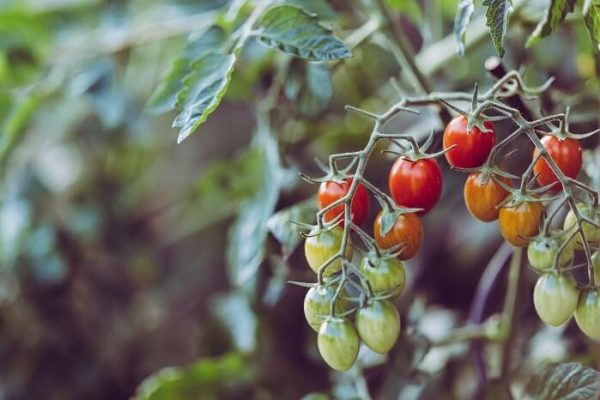summer crop tomatoes to be cleared out of a polytunnel
