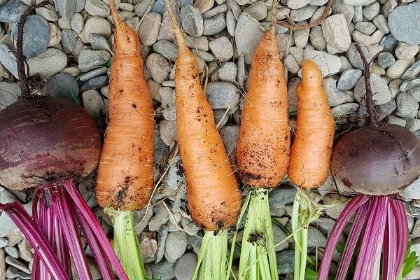 fresh carrot and beetroot grown in a polytunnel