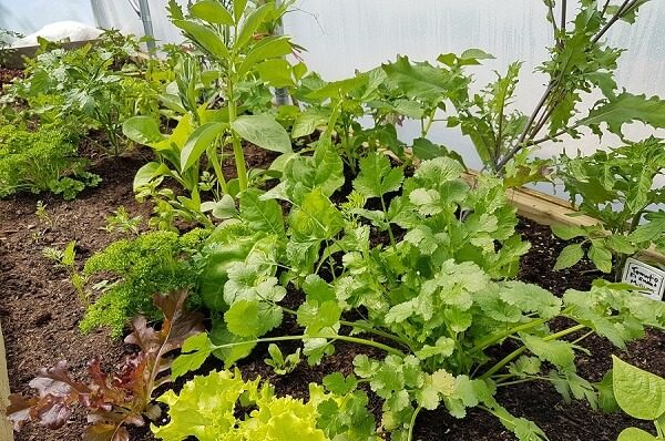 mixed polytunnel planting
