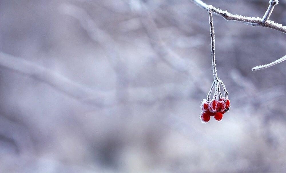 frosty cold branch