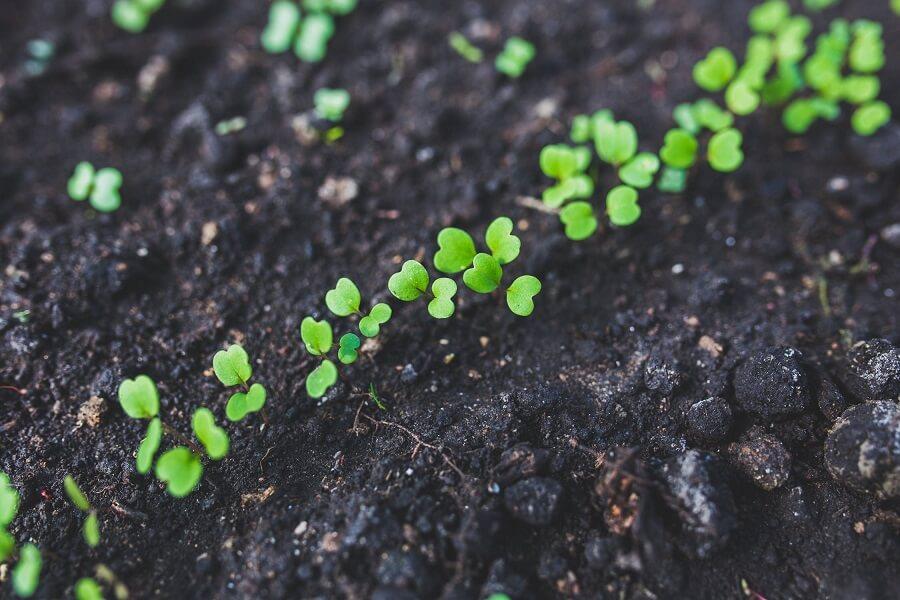 seedlings in a wicking bed