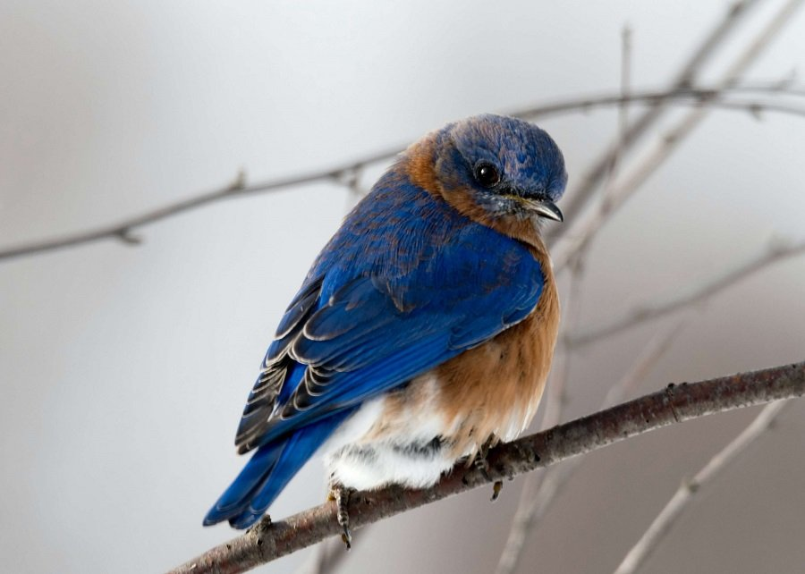 Blue and brown bird on a branch